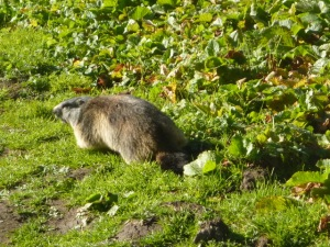 Marmotte Le Grand Chalet  au dessus du Laisonnay