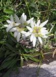 Edelweiss b