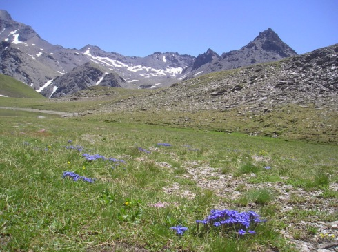 Petites gentianes bleues Col de Lanserlia