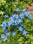 2 Petites gentianes bleues b