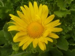 20 Doronic a grandes fleurs b
