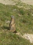 795 Marmotte monte la garde b
