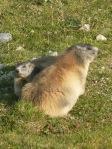 805 Couple de marmottes b