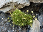 Saxifrage sillonnee